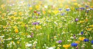 Your lawn is already a wildflower meadow waiting to burst forth. Photograph: Jacky Parker/Moment/Getty