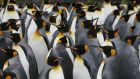 "A colony of king penguins. The second largest emperor penguin colony  in the world  has suffered a ""catastrophic"" breeding failure, research shows. Photograph: Marcel Mochet/AFP/Getty Images"