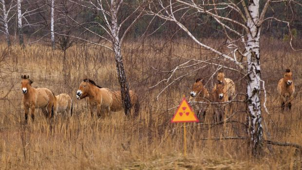 Wild Przewalski's horses, a rare breed whose population has grown rapidly within Chernobyl's 30km protection zone. Photograph: Getty Images