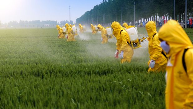 Farmers wearing protective clothing spraying pesticides in a wheat field. Photograph: Jinning Li/Shutterstock