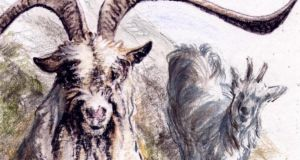 Old Irish Goats: As the last remaining goats of their kind, the animals warrant protection, not least as an irreplaceable genetic resource for future breeding.  Illustration: Michael Viney
