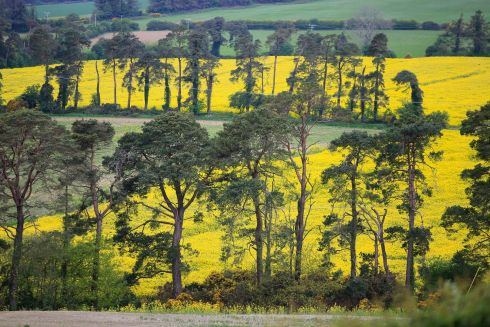 MELLOW YELLOW: Rape seed crop comes into flower in Co Wicklow. Photograph: Nick Bradshaw
