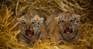The Amur tiger cubs in episode 1 of The Zoo
