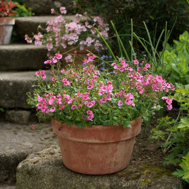 Pots of pink diascia flowering in Patthana Gardens in Co Wicklow. Photograph: Richard Johnston