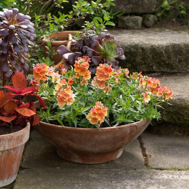 A summer container filled with Nemesia 'Peach' beside containers filled with Coleus 'Campfire' and Aeonium 'Zwartkop'. Photograph: Richard Johnston