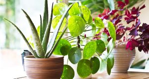 You can build a jungle of plants in a rented property without asking anyone's permission. Photograph: iStock
