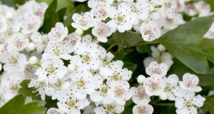 """In the old days people found the hawthorn forbidding. Some folks wouldn't tolerate its white flowers in the house during May"" Photograph: istock"