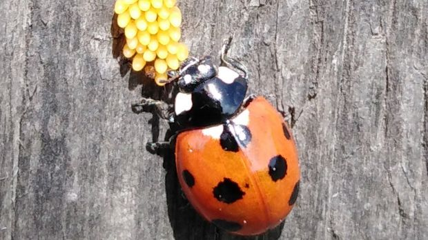 7-spot Ladybird with her eggs