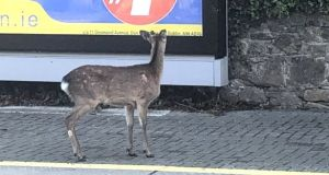 "The deer was pictured on the southbound platform in Glenageary train station on Friday morning by Ronan O'Keeffe who posted it on Twitter saying it looked ""very disoriented"". Photograph:   Ronan O'Keeffe."
