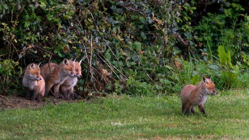A litter of Fox cubs emerge from their den in Delgany, Wicklow.  Photograph Nick Bradshaw/The Irish Times
