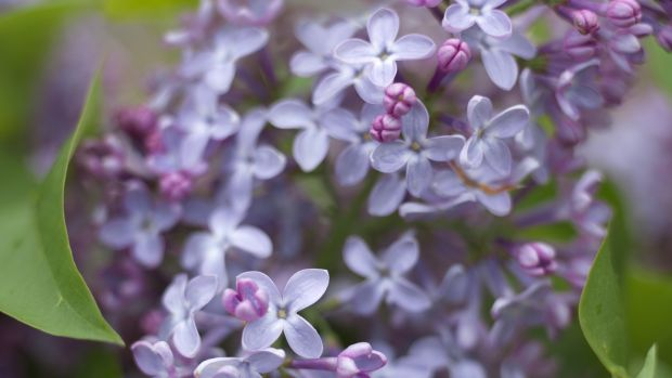 Lilac flowers' lush beauty and haunting scent is hard to resist. Photograph: Richard Johnston