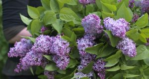For centuries, lilac has been prized as a cut-flower. Photograph: Richard Johnston