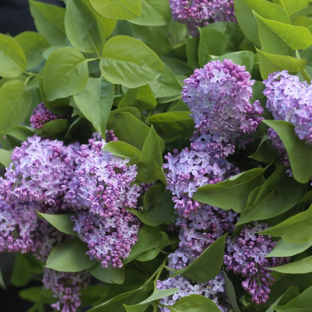 The Miracle Of Lilac Long Living Sweet Smelling And Very Easy To