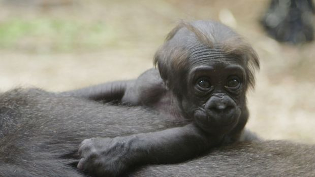 It's a girl! Dublin Zoo has only recently been able to determine the gender of the gorilla. Photograph: Dublin Zoo.