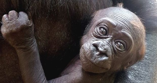 It's a girl! The baby gorilla was born on April 1st at Dublin Zoo. Photograph: Dublin Zoo.