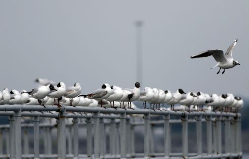 BIRDS OF A FEATHER: Seagulls stand in a line at Dublin Port. Photograph: Nick Bradshaw/The Irish Times