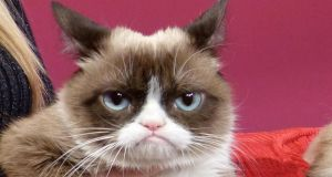 Grumpy Cat became an internet sensation in her seven short years. File photograph: Barbara Munker/EPA