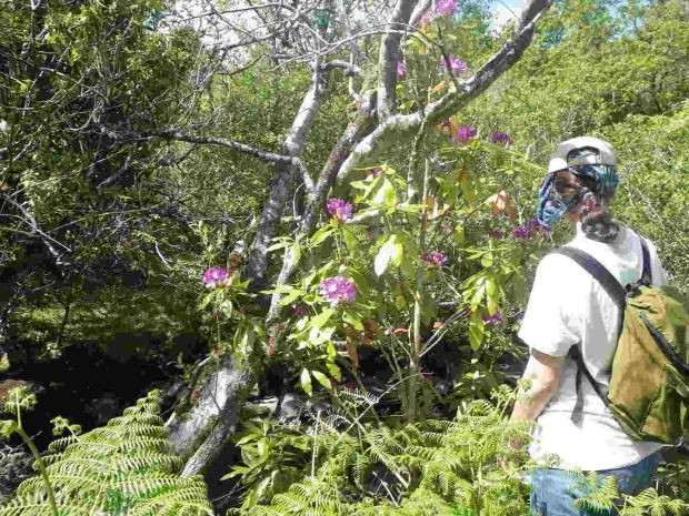 Rhododendron threat: a Groundwork volunteer at work in Killarney National Park. Photograph: Bill Quirke/Groundwork