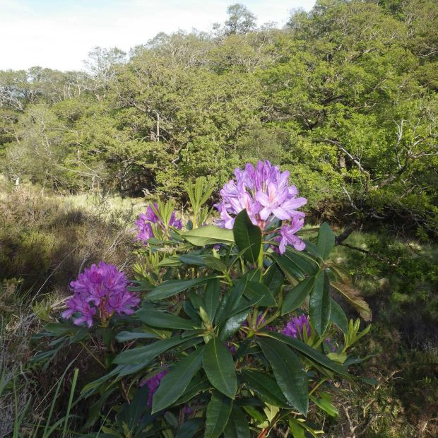 Rhododendron threat: one of the plants in Eamonn's Wood, in Killarney National Park, last week. This wood had been cleared by Groundwork. The NPWS does not envisage visiting the wood again until 2023, by which time the rhododendrons will have broadcast millions of seeds. Photograph: Bill Quirke/Groundwork