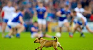 A dog roams around on the field during play in the Ulster SFC quarter-final at Kingspan Breffni Park. Photograph: Tommy Dickson/Inpho