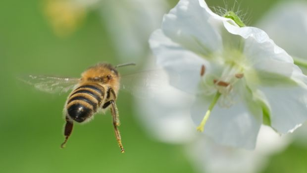 Individuals, communities, businesses and farmers can contribute to the preservation of bees and other pollinators through a number of measures. Photograph: Sean Gallup/Getty Images