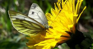 The Green-Veined White butterfly, now  in moderate decline in Ireland. Photograph: Dr Liam Lysaght.