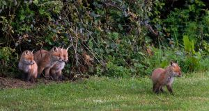 A litter of fox cubs adventuring out of their den in Delgany, Co Wicklow. Photograph: Nick Bradshaw
