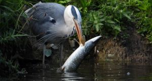 Heron having  dinner