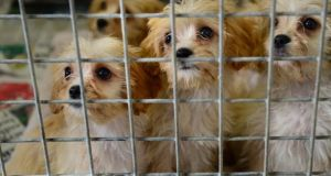 The conditions on the puppy farm in Co Carlow were described as squalid by an ISPCA chief inspector. Photograph: Dara Mac Donaill