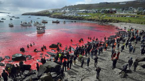 THE RED SEA: People gather in front of the sea, coloured red, during a pilot whale hunt in Torshavn, Faroe Islands. Photograph: Andrija Ilic/AFP/Getty Images