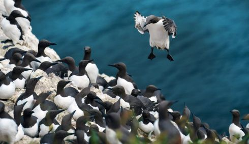 PREACH: A Guillemot returns from sea to the cliffs of Ireland's Eye. Photograph: Fran Veale