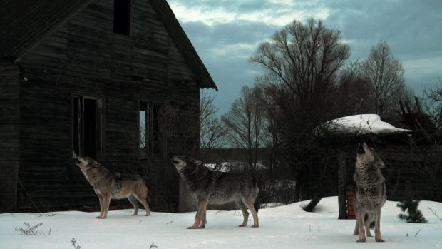 Howling wolves in abandoned village in Chernobyl. Photograph: iStock/Getty Images