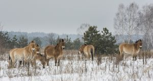 Przewalski Horses in the 'death zone' around Chernobyl  in wintertime. Photograph: iStock/Getty Images
