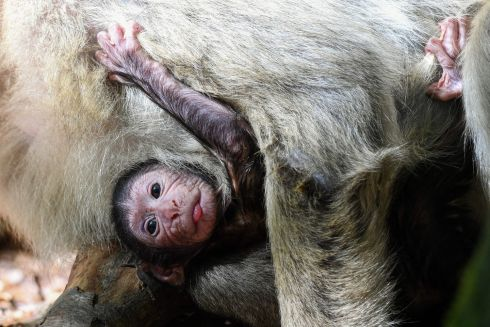 A Barbary ape baby clings to its mother on in Salem, southern Germany. Photograph: DPA/AFP/Getty