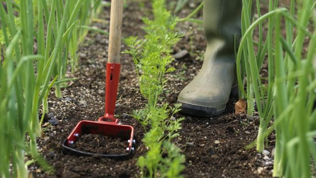 Remove weeds with a hoe or specialised removal tool. Photograph: Richard Johnston