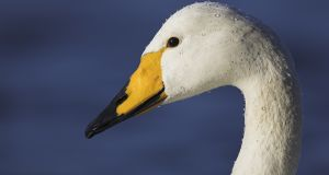 Adult whooper swan showing characteristic yellow beak markings. Photograph courtesy of Simon Stirrup