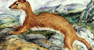 Stoat on dry stone wall. Illustration: Michael Viney