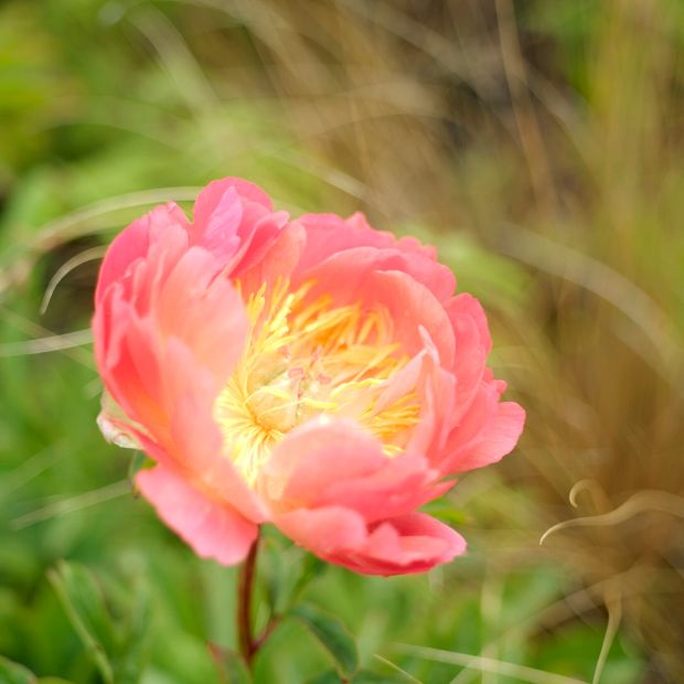 Paeony in flower. Photograph: Richard Johnston