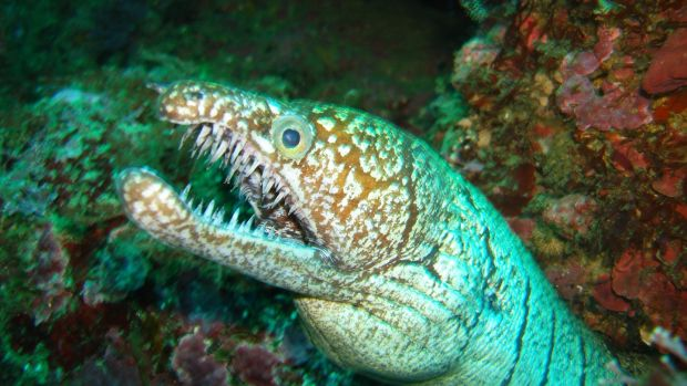 A moray eel in the Poor Knights reserve