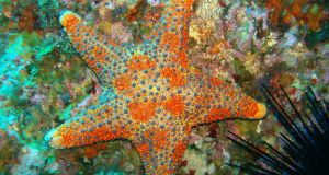 A cushion star  in Poor Knights marine reserve  off New Zealand