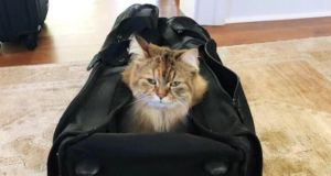 Pet hates?: Nicole Kidman's cat Ginger. Ginger and the actor's other cat, Snow, go hiking with her, in a backpack. Photograph: Nicole Kidman/Instagram