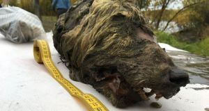 A handout picture taken  shows the head of an ancient wolf, discovered in Russia. Photograph: AFP/Getty