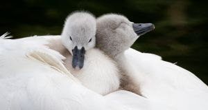 AWW: A swan and cygnets on the Royal Canal in Phibsborough. Photograph: Tom Honan