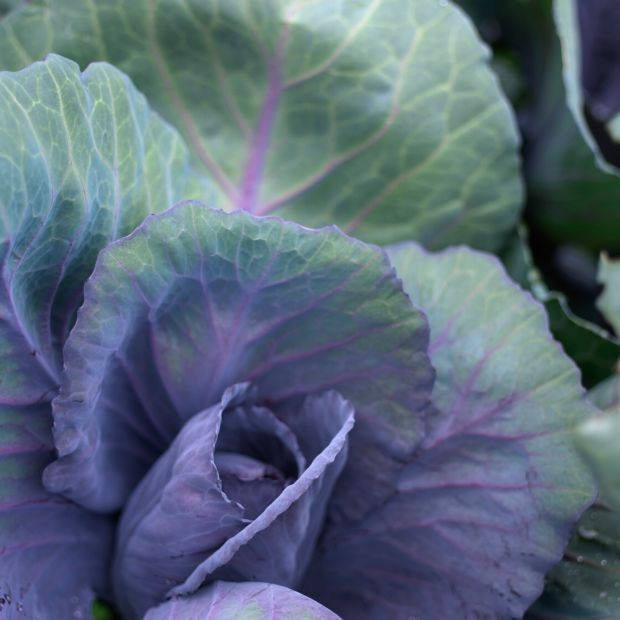 Cabbage growing in an Irish garden. It needs to be protected from cabbage root fly. Photograph: Richard Johnston