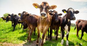 If cattle were their own nation, they would be the world's third largest emitter of greenhouse gases, after China and the US. Photograph: iStock