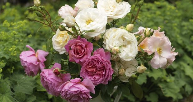 Sun Shade Dry Or Windy There S A Rose To Suit Every Kind Of Garden