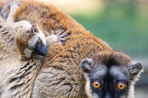 FEELING CLINGY: A one-month-old brown lemur (Eulemur fulvus mayottensis), typically found on the island of Mayotte, north of Madagascar, clings to its mother at Sosto Zoo, Nyiregyhaza, northeastern Hungary. Photograph: Attila Balazs/EPA
