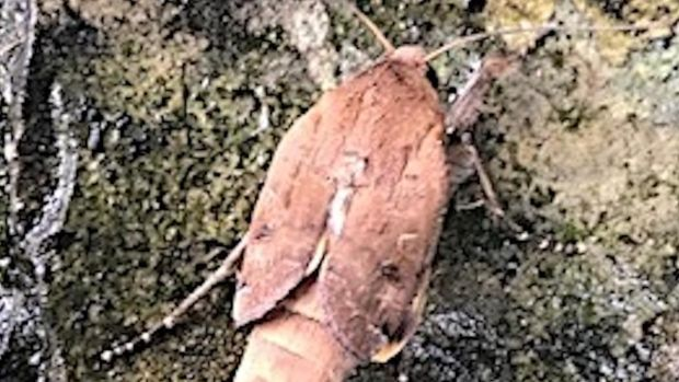 The large yellow underwing moth