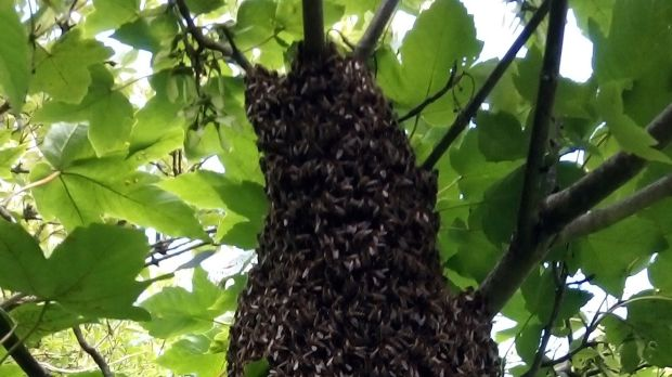 Swarm of honey bees from a beehive