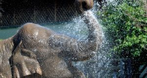 Anak, an Asian elephant at Dublin Zoo, enjoys a cooling shower from a keeper. Photograph: Alan Betson/The Irish Times